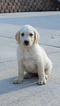 Labradoodle Puppy For Sale in GRANDIN, MO
