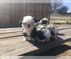Shih Tzu Puppy for sale in POTEET, TX, USA