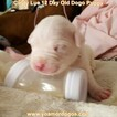 Small Photo #32 Dogo Argentino Puppy For Sale in PINEVILLE, MO, USA