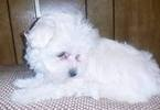 Maltese Puppy For Sale in LEXINGTON, KY, USA