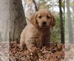 Puppy 10 Golden Retriever