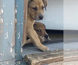 American Bulldog-Rhodesian Ridgeback Mix Dog for Adoption in STERLING, Colorado USA
