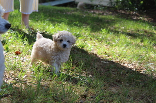 Poodle (Miniature) Puppy For Sale in MILTON, FL