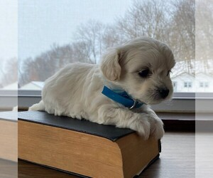 Biton Puppy for sale in KINZERS, PA, USA