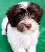 Havanese Puppy For Sale in FENTON, Missouri,