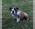 English Bulldog Puppy For Sale in GETTYSBURG, PA, USA