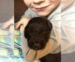 Small #13 Labradoodle