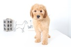 Goldendoodle Puppy For Sale near 34104, Naples, FL, USA