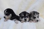 Siberian Husky Puppy For Sale in BATTLE GROUND, WA, USA