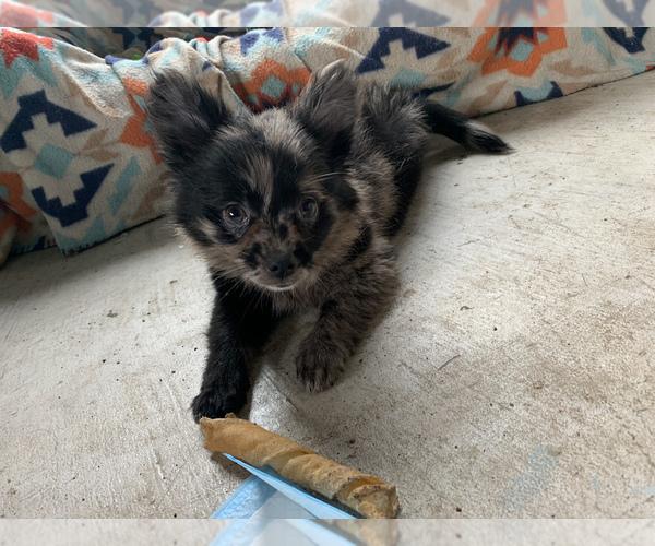Medium Photo #14 Pomeranian Puppy For Sale in KEAAU, HI, USA