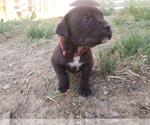 Cane Corso Puppy for sale in TRINIDAD, CO, USA