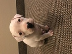 American Bully Puppy For Sale in GREENSBORO, North Carolina,