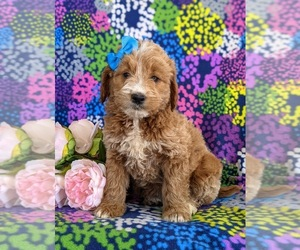 Goldendoodle (Miniature) Puppy for sale in QUARRYVILLE, PA, USA