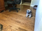 Soft Coat Wheaten Terrier Puppy Female