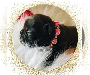 French Bulldog Puppy for sale in CORPUS CHRISTI, TX, USA