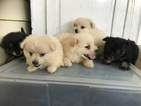 Pom-A-Poo Puppy For Sale in CHARITON, IA, USA