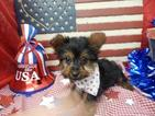 Yorkshire Terrier Puppy For Sale in CHICAGO, IL