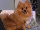 Pomeranian Puppy For Sale in CAMBRIDGE, MA, USA