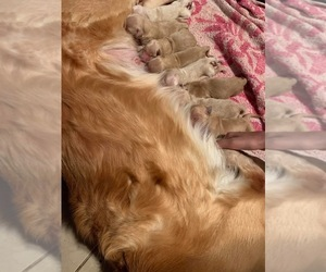 English Cream Golden Retriever Puppy for sale in ROSEVILLE, CA, USA