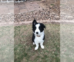 Border Collie Puppy for Sale in MESA, Arizona USA