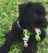 Schnauzer (Miniature) Puppy For Sale in DURHAM, NC, USA