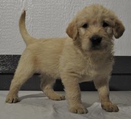 Labradoodle Puppy For Sale in ATWOOD, IL, USA