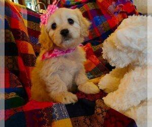 Cavachon-Cavapoo Mix Puppy for Sale in FREWSBURG, New York USA