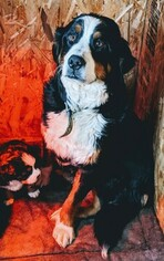 Mother of the Bernese Mountain Dog puppies born on 01/11/2019