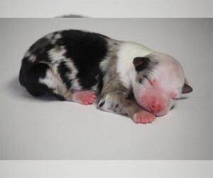 Miniature Australian Shepherd Puppy for Sale in CIRCLEVILLE, Utah USA