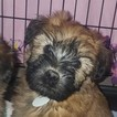 Soft Coated Wheaten Terrier Puppy For Sale in ELIZABETH, CO, USA