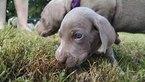 AKC Weimaraner Puppies for Sale Champion Bloodline