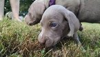 Weimaraner Puppy For Sale in UNION GROVE, AL, USA