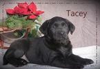 Labrador Retriever Puppy For Sale in BULLTOWN, Pennsylvania,