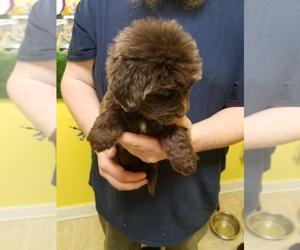 Newfoundland Puppy for Sale in AURORA, Indiana USA