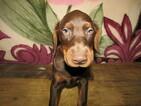 Doberman Pinscher Puppy For Sale in HUDSON, Michigan,