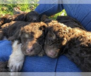 Labradoodle Dog for Adoption in OXFORD, Pennsylvania USA