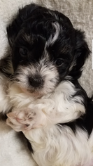 Havanese Puppy For Sale in CHURUBUSCO, IN