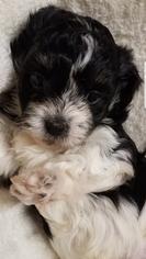 Havanese Puppy For Sale in CHURUBUSCO, IN