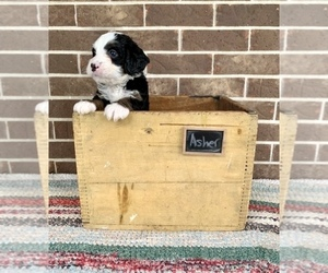 Bernedoodle Puppy for sale in GRABILL, IN, USA