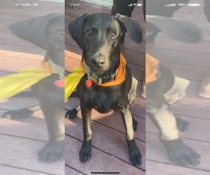 Labrador Retriever Puppy for sale in BIRMINGHAM, AL, USA