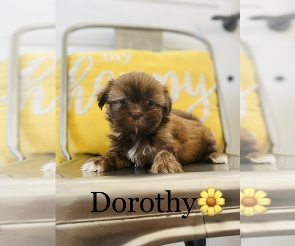 Medium Photo #2 Shih Tzu Puppy For Sale in COOKEVILLE, TN, USA
