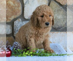 Goldendoodle-Poodle (Standard) Mix Puppy for sale in KINZERS, PA, USA
