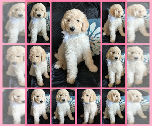 Poodle (Standard)-Sheepadoodle Mix Puppy for sale in RIALTO, CA, USA