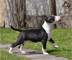 Small #11 Miniature Bull Terrier