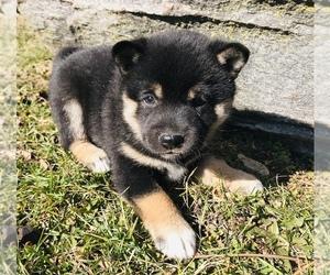 Shiba Inu Puppy for sale in ARCOLA, IL, USA