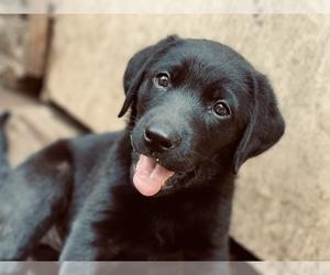 Labrador Retriever Puppy for sale in CHATTANOOGA, TN, USA