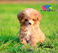 Poodle (Toy) Puppy For Sale in CORNING, CA, USA