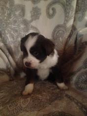 Australian Shepherd Puppy for sale in MARSHVILLE, NC, USA