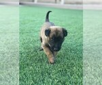 Small Photo #8 Belgian Malinois Puppy For Sale in CHANDLER, AZ, USA