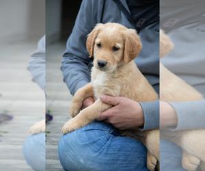 Golden Retriever Puppy for Sale in FREDONIA, Kentucky USA